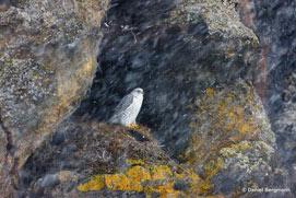 Gyrfalcon, Halcón Gerifalte, Falco rusticolus.