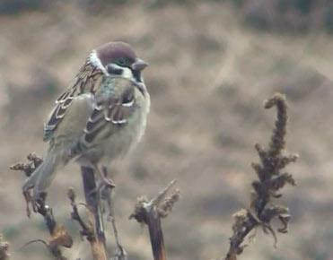 Tree Sparrow Passer montanus in northeast Spain