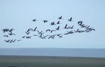 Cranes, Grus grus.