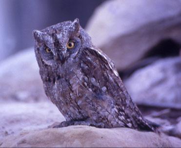 Scop's Owl, Otus scops