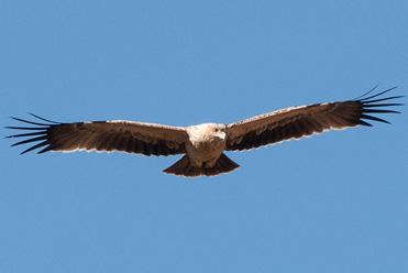 Juvenile Spanish Imperial Eagle, Aquila adalberti ?