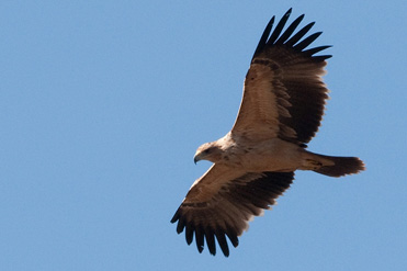 Is this a juvenile Spanish Imperial Eagle, Aquila adalberti?