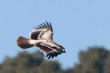 Probable juvenile Spanish Imperial Eagle Aquila adalberti