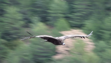 Black Vulture, Aegypius monachus, in flight