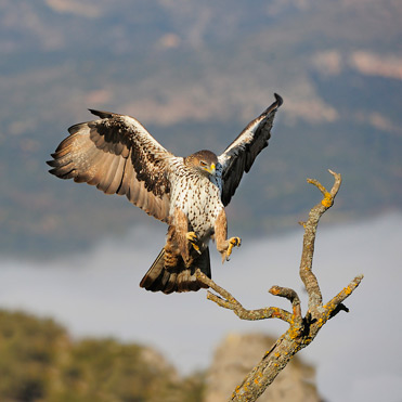 Bonelli's Eagle, Hieraaetus fasciatus, coming in to land in Catalonia.