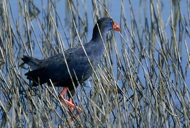 Purple Gallinule, Porphyrio porphyrio. Also known as Purple Swamphen.