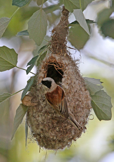 Penduline Tit building nest near Lleida, Catalonia.