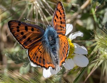 Purple Shot Copper butterfly, on a birding tour in Spain