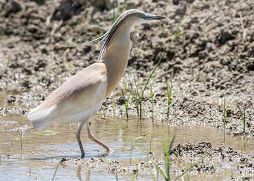 Squacco Heron in the Ebro Delta, on a birding tour in Spain.