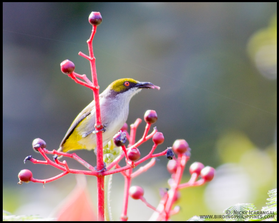 Olive-capped Flowerpecker