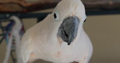 Taz – Moluccan Cockatoo