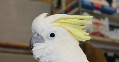 Chloe – Medium Sulphur crested cockatoo