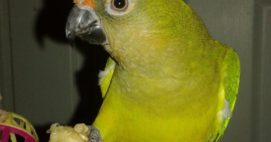 Peachfront Conure looking for a new loving home