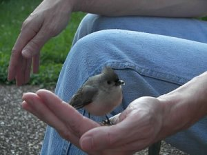 My Little Titmouse Friend