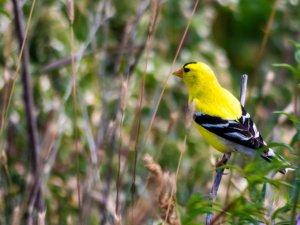 zinnia goldfinch