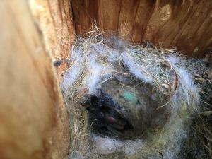chickadee nest box survivor