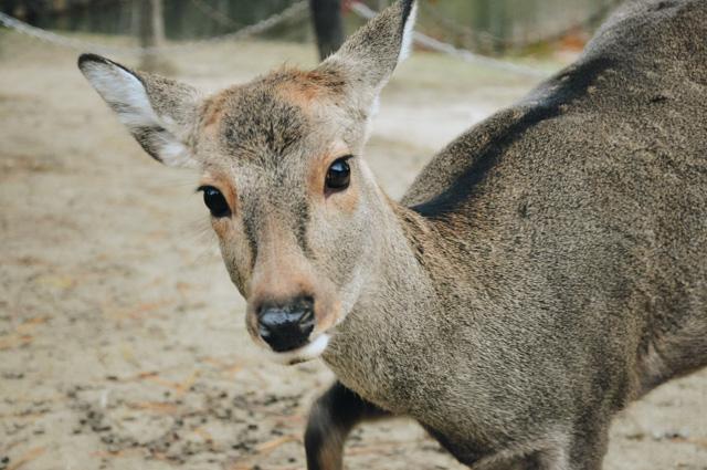 Photos des cerfs sika japonais au parc de Nara
