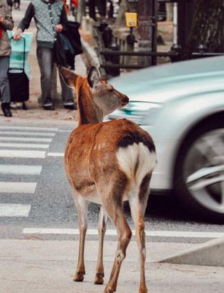 Les daims de Nara au Japon
