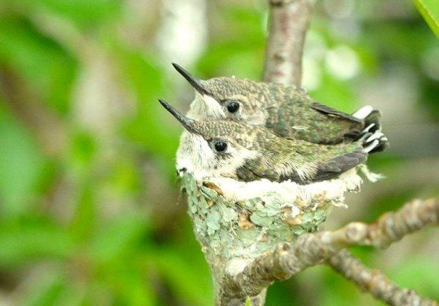 Baby Ruby Throated Hummingbird Eggs