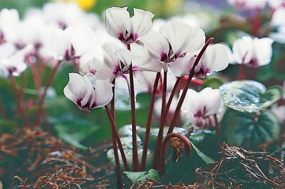 Top 10 Winter Bloomers For Your Flower Garden   Birds and Blooms Flower Garden  Cyclamen