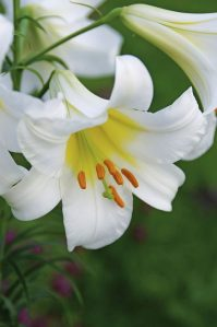 Top 10 Lilies to Love   Flower Gardening   Birds   Blooms Top 10 Lilies to Love   Birds   Blooms