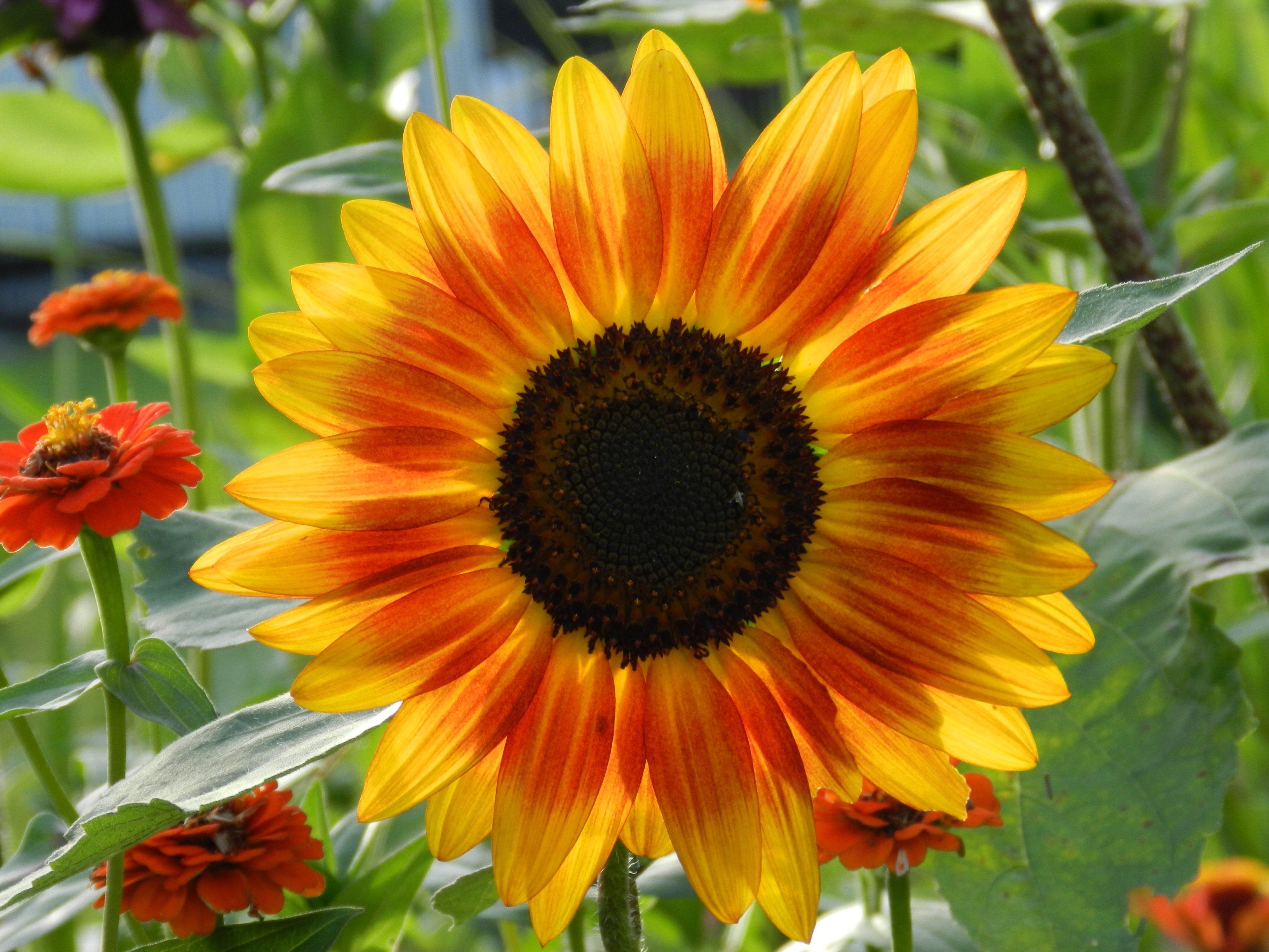 Autum Sunflower Birds And Blooms
