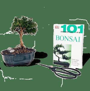Bird S Bonsai Affordable Indoor Jade Bonsai Tree For Sale