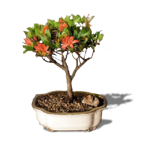 Bird S Bonsai Affordable Flowering Bonsai Tree For Sale