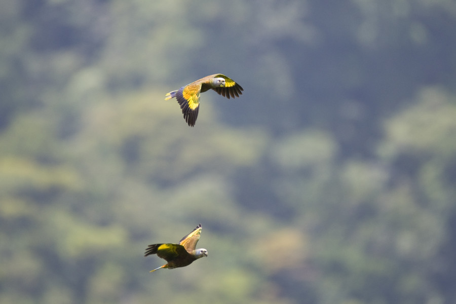 St. Vincent Parrots, endemic to St. Vincent and the Grenadines, in flight. (Photo courtesy of the St. Vincent and the Grenadines Tourism Authority)