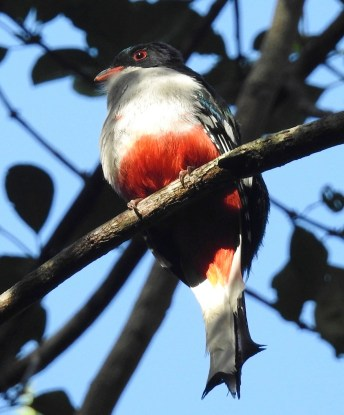The most popular bird of the trip: easy to see and hear - the national bird, the Cuban Trogan! (Photo by Ericka Gates)