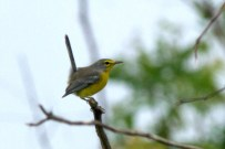 Shows unique Barbuda Warbler habit of cocking up their tail, more like a wren than a warbler (Photo by Jeff Gerbracht/Macaulay Library at the Cornell Lab)