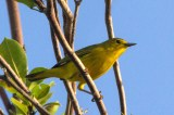 Yellow Warbler (Photo by Jeff Gerbracht/Macaulay Library at the Cornell Lab)
