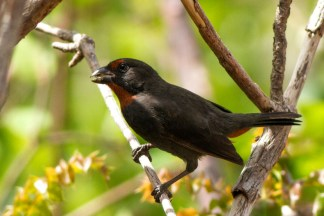 Male Lesser Antillean Bullfinch (Photo by Jeff Gerbracht/Macaulay Library at the Cornell Lab)