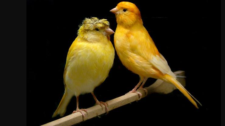 Kenari loper (rp350 ribu) · 3. √ 40 Harga Burung Kenari 2021 : Jenis, Usia & Kualitas