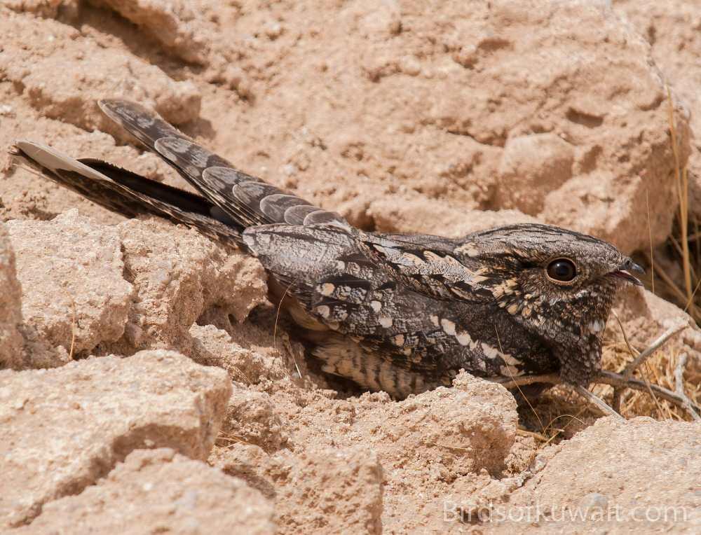European Nightjar Caprimulgus europaeus