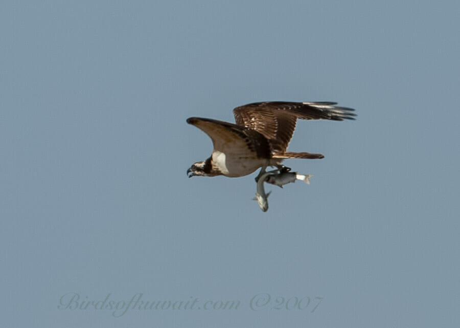Western Osprey Pandion haliaetus