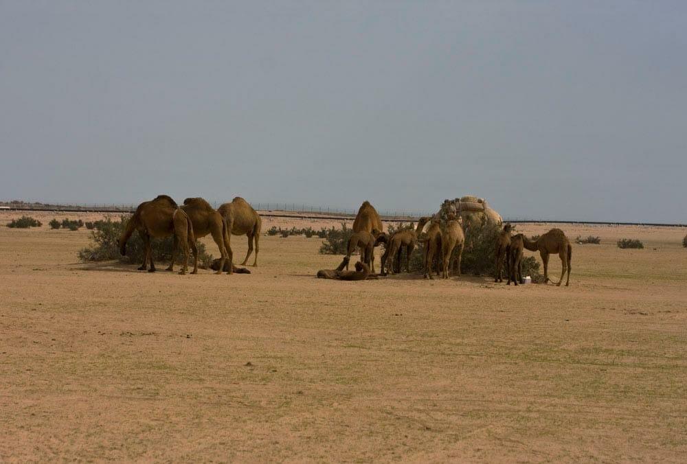 Camels overgrazing Subiya