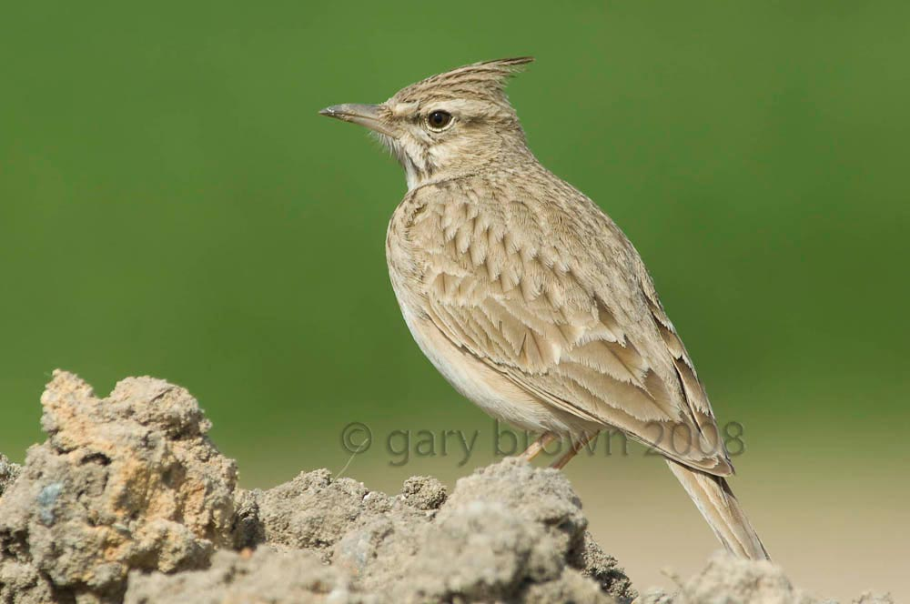 Crested Lark Galerida cristata with green background