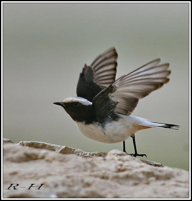 Eastern Mourning Wheatear Oenanthe lugens about to fly