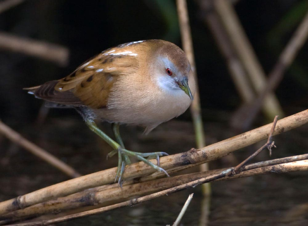 Little Crake walking on reed stems