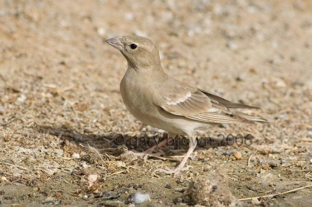 Pale Rockfinch on ground near water