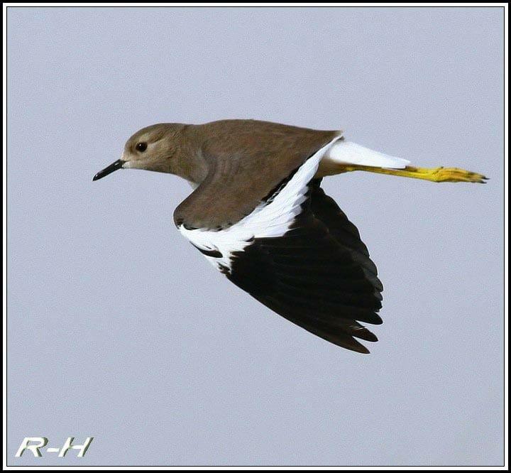 White-tailed Lapwing Vanellus leucurus