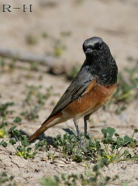 Black Redstart Phoenicurus (ochruros) phoenicuroides on ground
