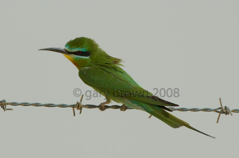 Blue-cheeked Bee-eater Merops persicus on barb wire