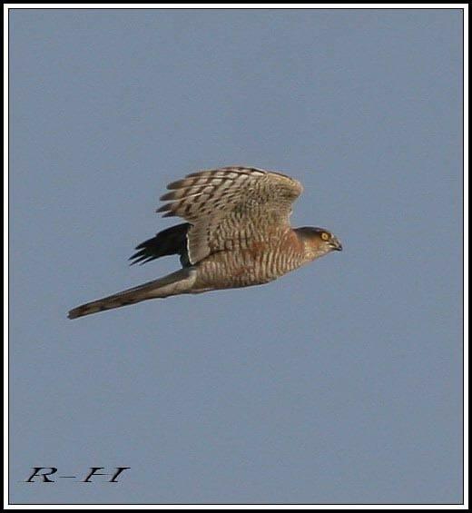 Eurasian Sparrowhawk Accipiter nisus in flight