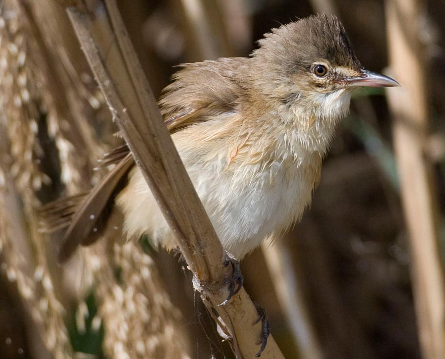 Great Reed Warbler Acrocephalus arundinaceus on dry reed stem