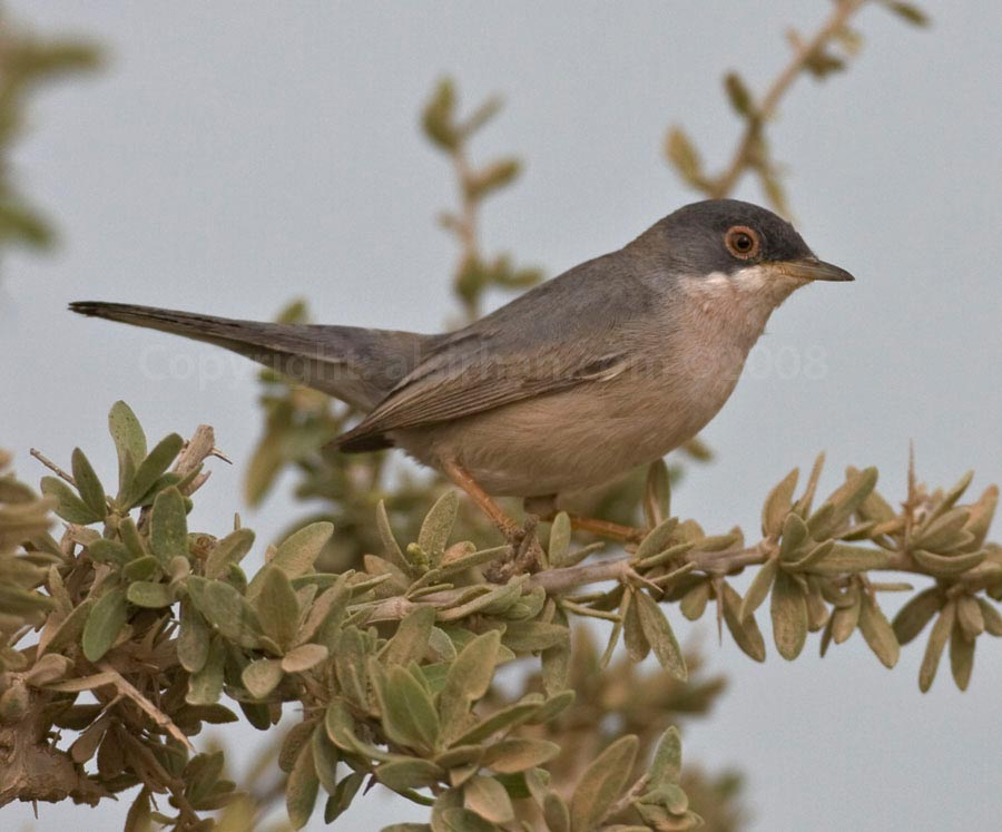Ménétries's Warbler Curruca mystacea on a bush