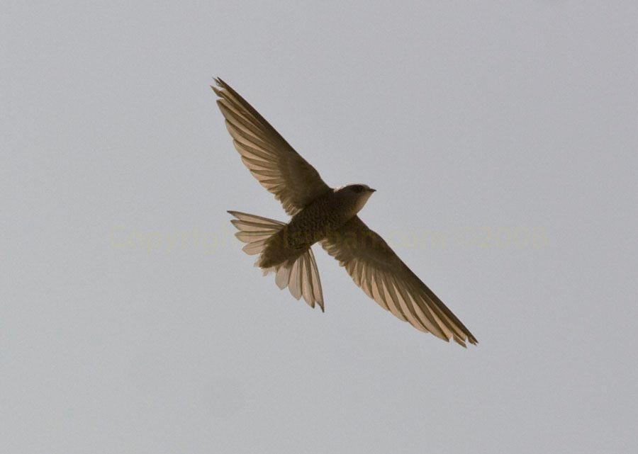 Pallid Swift Apus pallidus in flight