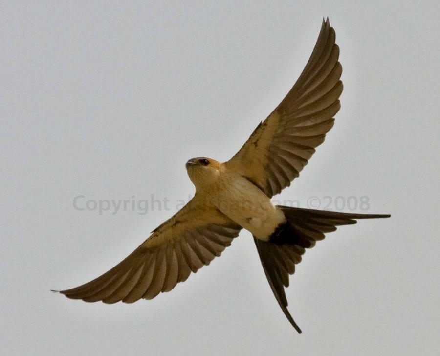 Red-rumped Swallow Cecropis daurica on flight