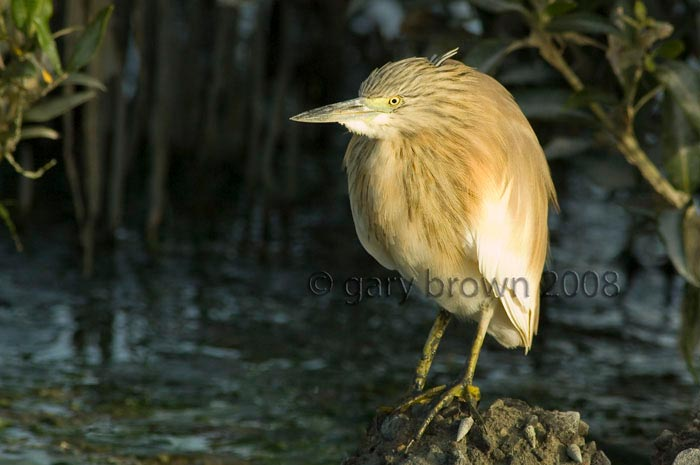 Squacco Heron Ardeola ralloides close to water